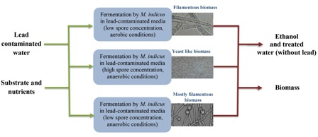 Simultaneous biosorption and bioethanol production from lead-contaminated media by Mucor indicus