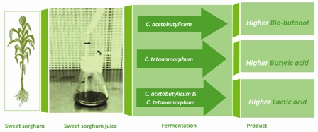 Direct fermentation of sweet sorghum juice by Clostridium acetobutylicum and Clostridium tetanomorphum to produce bio-butanol and organic acids