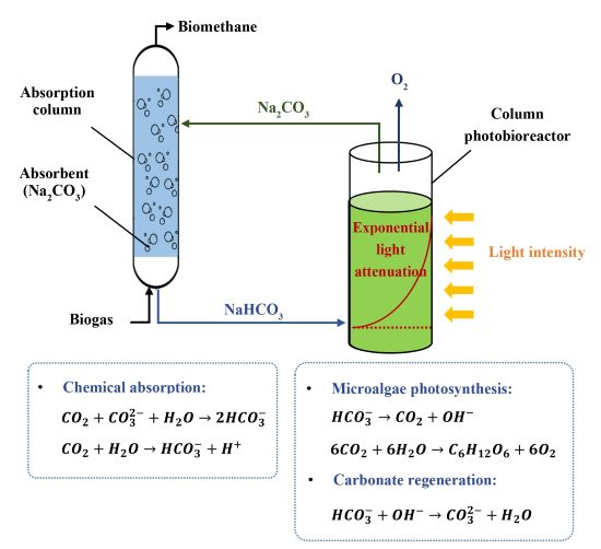Sustainable carbon capture <i>via</i> halophilic and alkaliphilic cyanobacteria: the role of light and bicarbonate