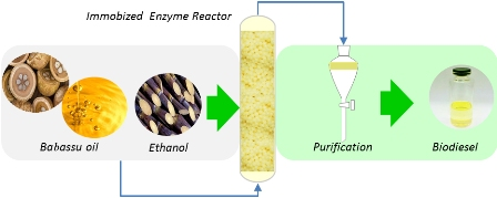 Performance of an enzymatic packed bed reactor running on babassu oil to yield fatty ethyl esters (FAEE) in a solvent-free system
