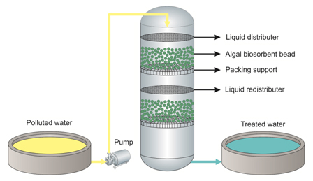 Towards sustainable development of microalgal biosorption for treating effluents containing heavy metals