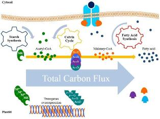 Manipulation of carbon flux into fatty acid biosynthesis pathway in Dunaliella salina using AccD and ME genes to enhance lipid content and to improve produced biodiesel quality